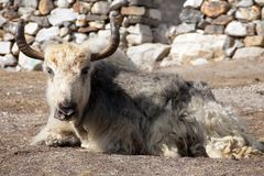 White and grey yak which is lying outside of lodge Stock Images