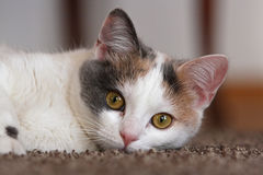 White - grey young cat. In the house stock photo