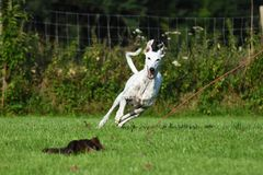 White greyhound chasing a lure Stock Images