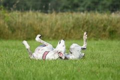 White greyhound rolling around in the grass Royalty Free Stock Photo