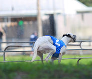 A white greyhound running in a Florida track Royalty Free Stock Images