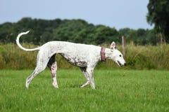 White greyhound trotting Royalty Free Stock Images