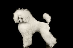 White Groomed Poodle Dog Standing Isolated on Black Background. White Groomed Poodle Dog Standing and Waving Tail Isolated on Black Background Royalty Free Stock Photo