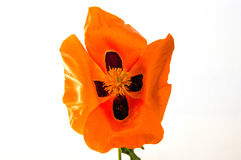 On the white ground are poppy flowers, poppy leafs, the best poppy flowers for projects and designs, Stock Images