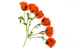 On the white ground are poppy flowers, poppy leafs, the best poppy flowers for projects and designs, Stock Photography