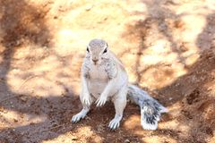 White ground squirrel nature, Namibia Royalty Free Stock Images