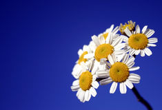 White Group of Daisies. White daisies growing in a bunch Stock Photos