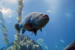 White grouper Stock Photo