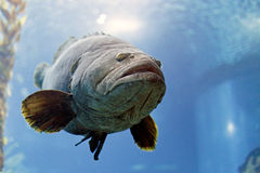 White grouper Royalty Free Stock Image