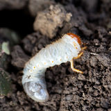 White grub of cockchafer Royalty Free Stock Image