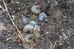 White grub larvae in black soil background. Many white grub, beetles larvae hide in black soil background stock photography