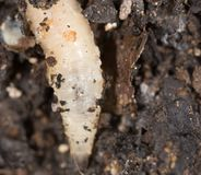 White grubs in nature. macro. In the park in nature stock photos
