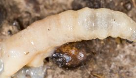 White grubs in nature. macro. In the park in nature stock image