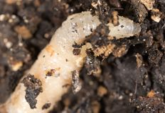 White grubs in nature. macro. In the park in nature royalty free stock photo
