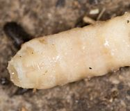 White grubs in nature. macro. In the park in nature royalty free stock images