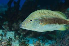 White grunt fish Stock Photography