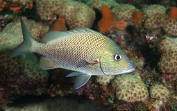White Grunt Fish on a reef. Royalty Free Stock Photography