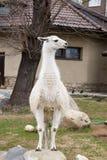 White guanaco Stock Image