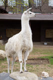White guanaco Stock Photo