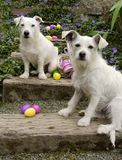 2 White Guard Dogs On The Job. White Jack Russell Terrier and white mix breed dog looking at the camera as they guard the spilled easter eggs on wooden stairs in Stock Image