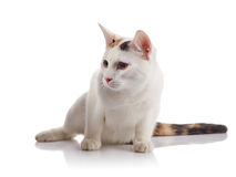 The white guarded with a multi-colored striped tail. The white guarded domestic cat with a multi-colored striped tail sits on a white background stock photo