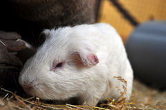 White Guinea Pig. A close up on a white Guinea Pig Royalty Free Stock Image