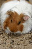 White guinea pig Royalty Free Stock Photography