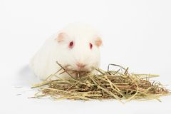 White guinea pig. White guinea pig, Rabbit and friend, Rodent family stock photos