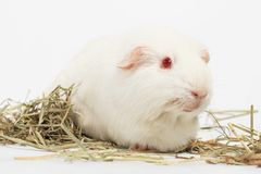 White guinea pig. White guinea pig, Rabbit and friend, Rodent family stock photo