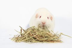 White guinea pig. White guinea pig, Rabbit and friend, Rodent family royalty free stock photography