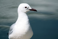 White gull with a black beak in water. Royalty Free Stock Photo