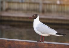 White gull with black head close-up on the wooden parapet of the embankment stock image