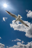 White gull in blue sky with sun Royalty Free Stock Image