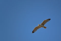 A white gull flying on the blue sky from right to left Stock Photos