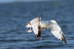 White gull flying over blue water Royalty Free Stock Photography