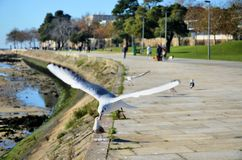 White gull flying over the shore of the river Royalty Free Stock Photos