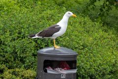White Gull on Garbage Bin Royalty Free Stock Images