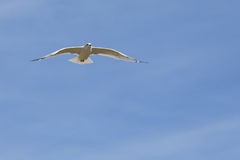 White gull gliding with a blue sky Stock Images
