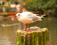 White gull in a park in autumn Stock Photography