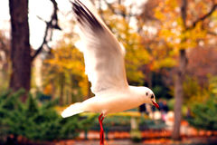 White gull in a park in autumn Stock Image