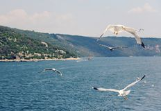 Picture taken in Croatia. White gulls fly over the blue sea in a. White gulls fly over the blue sea in a summer sunny day Stock Photography