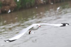 Set of flying seagulls, The white gulls fly over sea. The white gulls fly over sea at Bangpu Thailand Royalty Free Stock Image