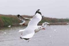 Set of flying seagulls, The white gulls fly over sea at Bangpu. The white gulls fly over sea Royalty Free Stock Images