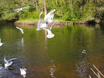 White gulls are flying over the lake royalty free stock photography