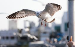 White gulls flying to eat on hand the tourist. Royalty Free Stock Photo
