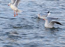 Gulls from the Forfar lake. Stock Images