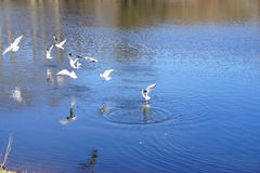 White gulls on a pond in a city park stock image