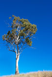 White gum tree. Tall Australian ghost gum tree against cloudless blue sky Stock Photography