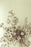 White Gypsophila Stock Photos