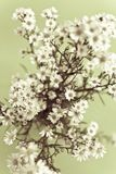 White gypsophila Royalty Free Stock Photo